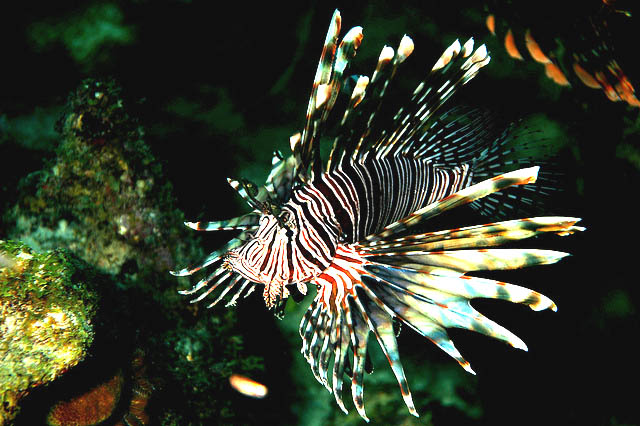 Lionfish are being spotted as far north as New England